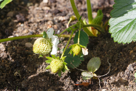 Little strawberries ripening in a vegetable garden during spring 写真素材