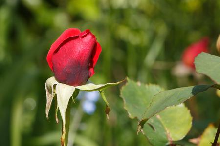 Red rose bud in a garden during spring Standard-Bild - 124986629