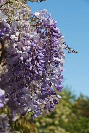 Flowers of purple Wisteria in a garden during spring Standard-Bild - 124986630