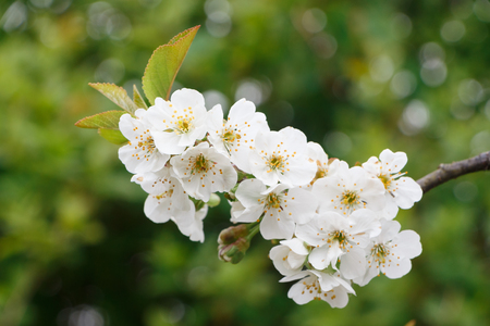 White flowers of cherry tree in an orchard during spring Standard-Bild - 124986635