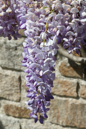 Flowers of purple Wisteria in a garden during spring Standard-Bild - 124986677