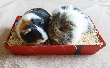 Guinea pigs in a box as a gift Stok Fotoğraf - 124986683