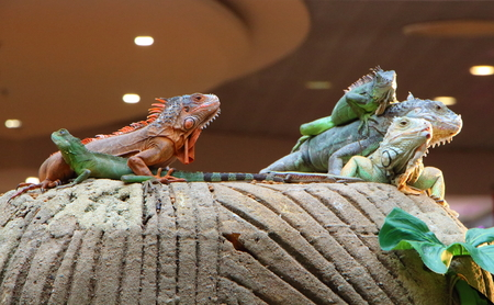 Iguanas and Chinese water dragon on a rock in captivity in a terrarium