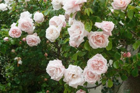 Pink rose in a garden during spring Standard-Bild - 124986858