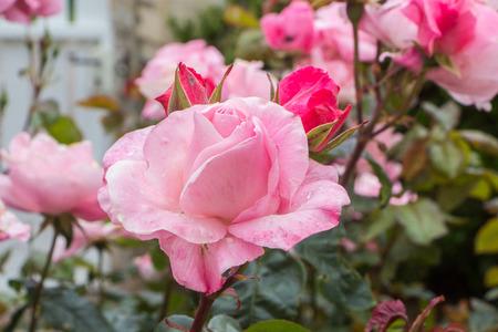 Pink rose in a garden during spring Standard-Bild - 124986862