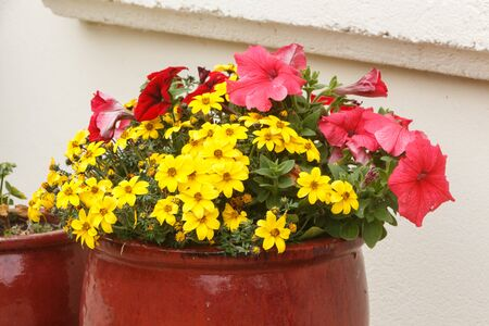 Planter with pink petunia and yellow apache beggarticks flowers in a garden during spring Standard-Bild - 124986869
