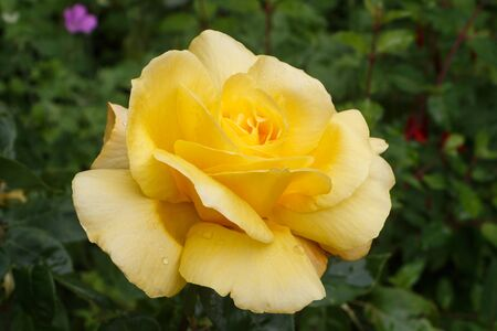 Yellow rose with dewdrops in a garden during spring Standard-Bild - 124986874