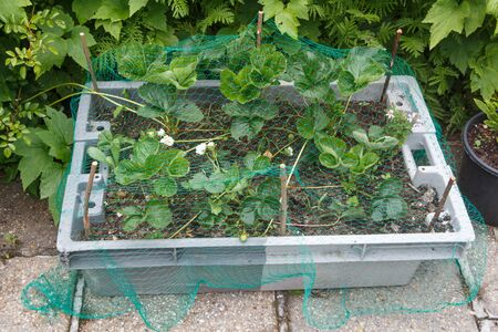 Strawberry plants with a net as protection from birds in a plastic box