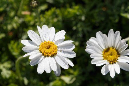 White flower of oxeye daisy in a garden during spring Standard-Bild - 124986929