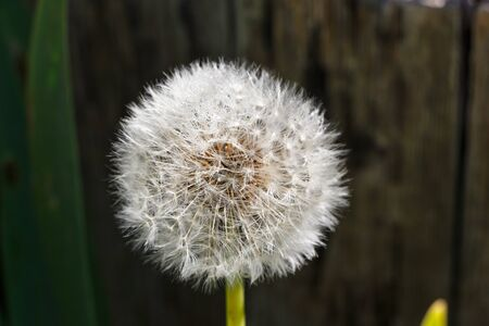 Dandelion clock in a garden during spring