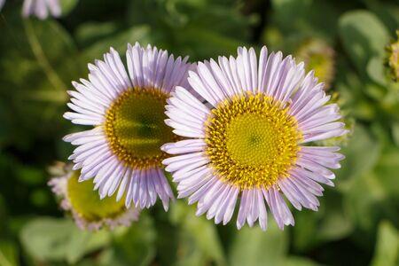Purple seaside fleabane flowers in a garden during spring