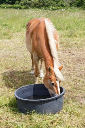 Haflinger pony drinking in a trough in a field in Brittany