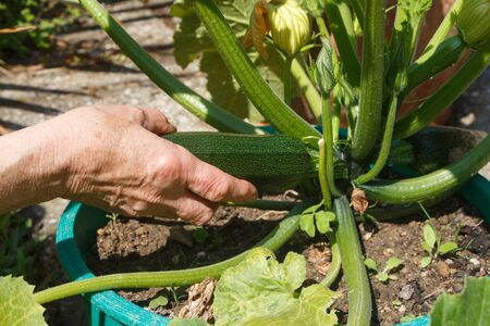 Gardener harvesting zucchini in a vegetable garden during summer Imagens
