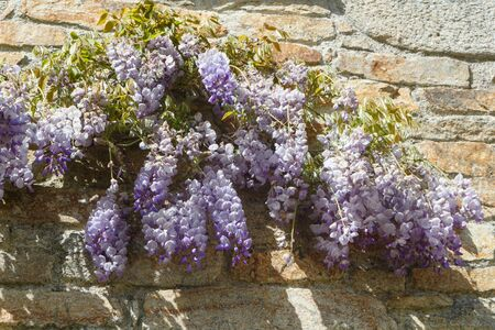 Flowers of purple Wisteria against the wall of an house during spring