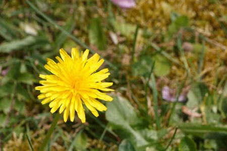 Yellow dandelion in a garden during spring