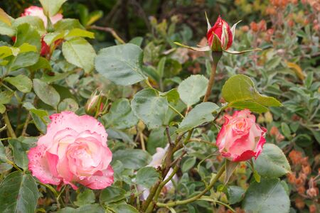 Pink roses with dewdrops in a garden during spring Imagens