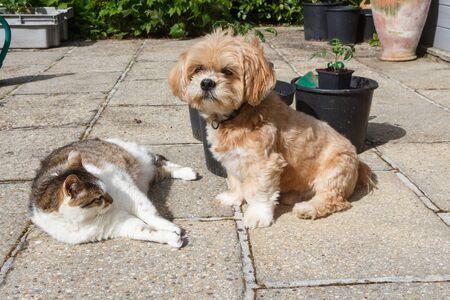 Lhasa Apso dog sitting near a lying tabby cat in a garden Foto de archivo