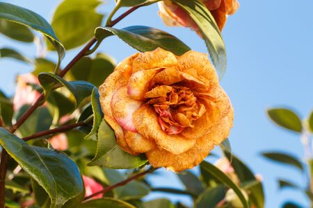 Rotten flower of camellia in a garden during winter