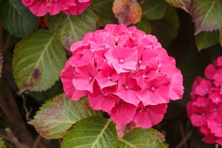 Pink hydrangea flowers in a garden during summer Imagens