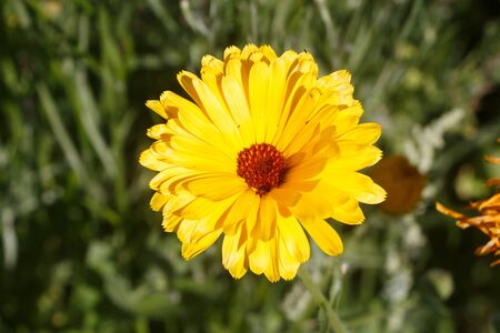 Yellow common marigold flower in a field during summer 免版税图像