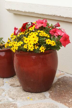 Planter with pink petunia and yellow apache beggarticks flowers in a garden during spring