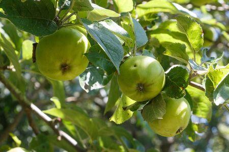 Green apples ripening on an apple tree in an orchard Zdjęcie Seryjne