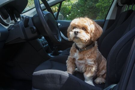 Lhasa Apso dog sitting on the front seat of a car Stockfoto