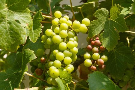Bunch of grapes with some rotten on vine stock during summer