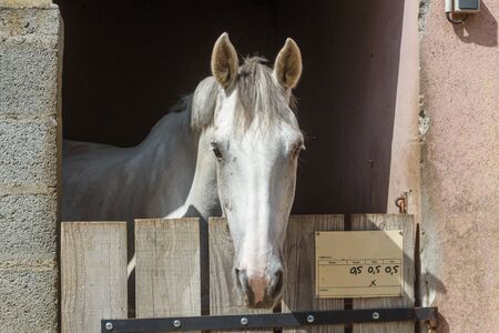 Head of a gray horse out of his box 스톡 콘텐츠
