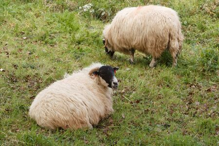 Scottish blackface sheep in a field in Brittany