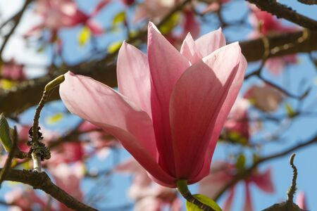 Flower of magnolia tree in a garden during spring Stock fotó