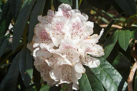 White rhododendron flowers in a garden during spring