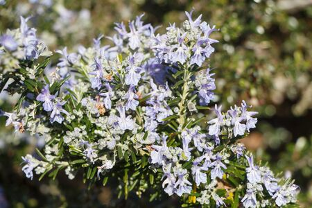 Rosemary plant with purple flowers in a garden during spring