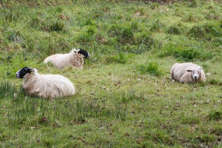 Scottish Blackface sheep lying in a field in Brittany