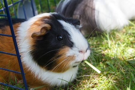 Guinea pig under a wire fencing in the grass of a garden