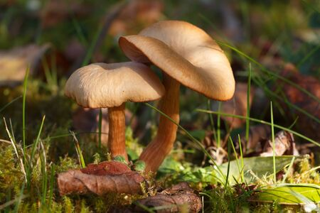Two mowers mushrooms in moss during autumn Imagens