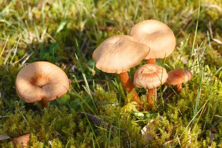 Mowers mushrooms in moss in a garden during autumn
