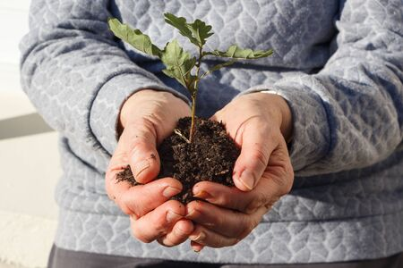 Small oak and soil in the hands of a woman