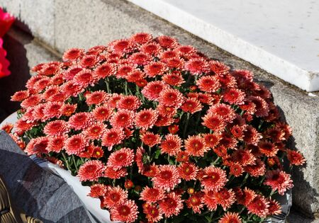 Red chrysanthemum plant on a tombstone for All Saints Day Imagens - 132682180