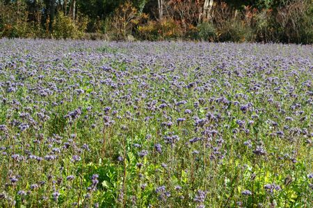 Field of purple tansy flowers in Brittany Imagens - 132682184
