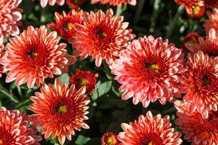 Close-up on red chrysanthemum plant on a tombstone for all saints day Imagens - 132682205