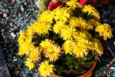 Yellow chrysanthemum plant on a tombstone for All Saints Day Imagens - 132682206