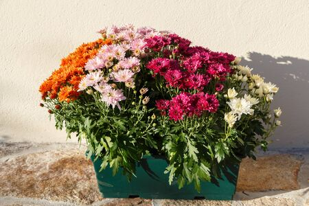 Chrysanthemum plants for tombstones for All Saints Day