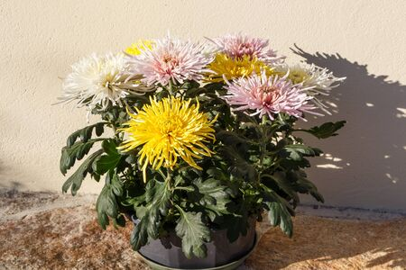Chrysanthemum plant for tombstones for All Saints Day Imagens - 131932710
