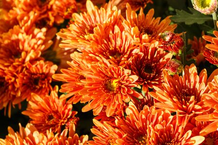 Close-up on chrysanthemum plants on tombstones for All Saints Day Imagens