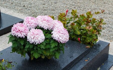 Chrysanthemum plants on tombstones for All Saints Day Imagens - 132057145