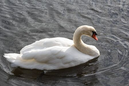 Swan swimming on a river in Brittany Imagens - 132569534