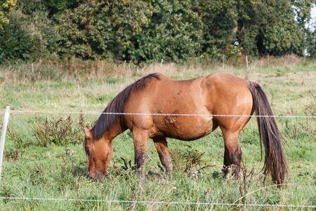 Bay Henson horse grazing in a field Imagens - 132566243
