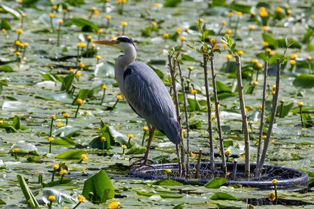 Grey heron landed on a pond during spring