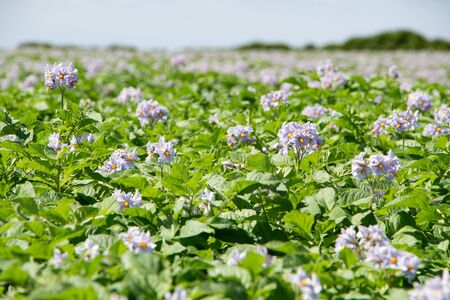 Purples flowers of potatoes plants in a field in brittany during spring